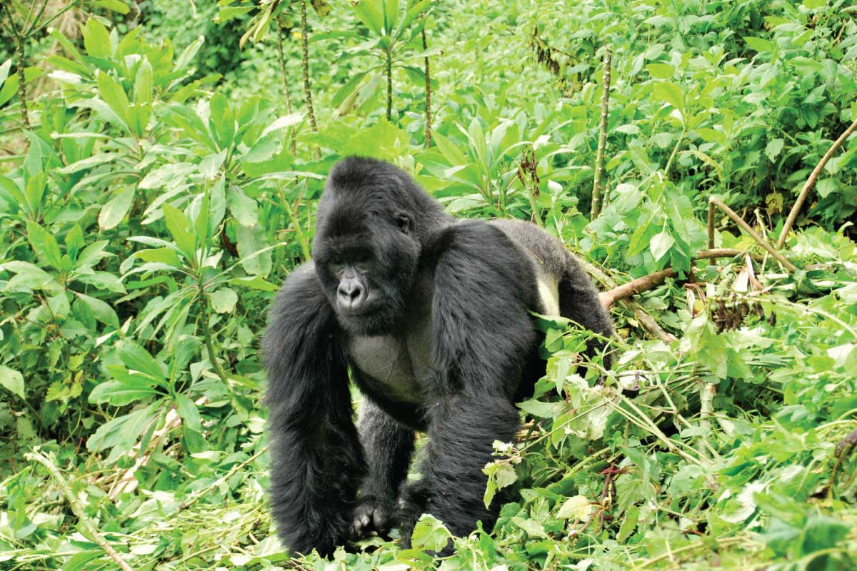 Guhonda - Rwanda Gorilla Tracking; Gorillas in the mist at Virunga Range - Volcanoes National Park