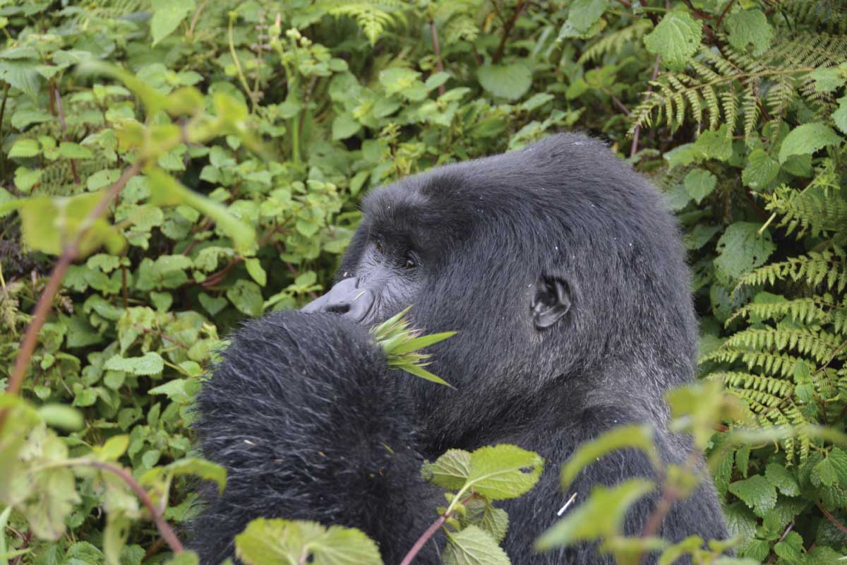 Rwanda Gorilla Tracking; Gorillas in the mist at Virunga Range - Volcanoes National Park