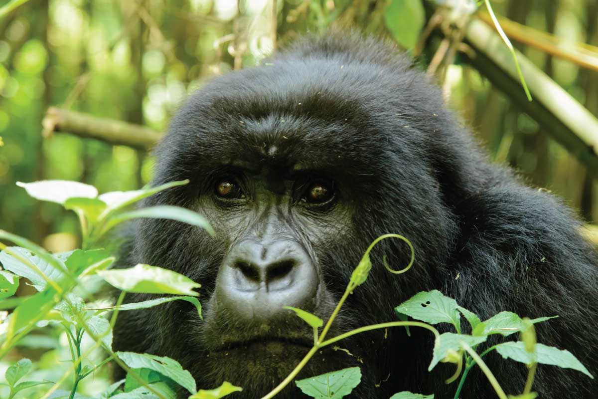 Rwanda Gorilla Tracking; Gorillas in the mist at Virunga Range