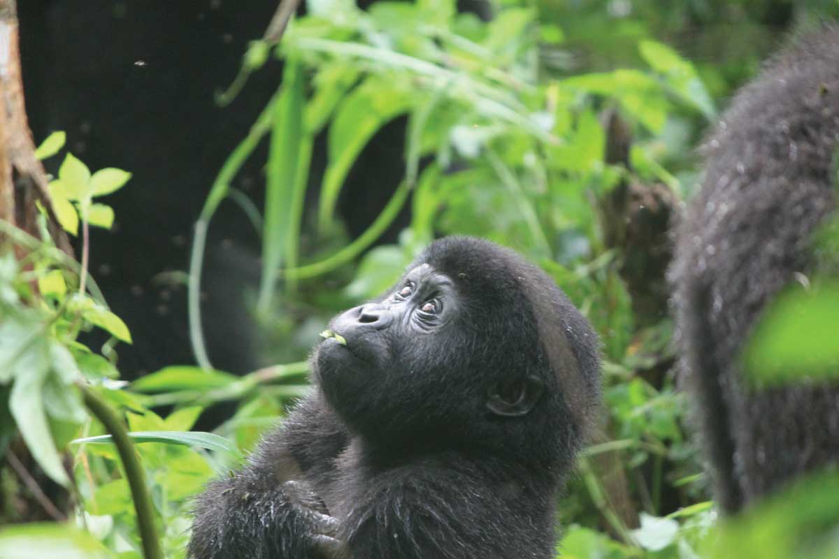 best time to go gorilla tracking in Uganda and Rwanda