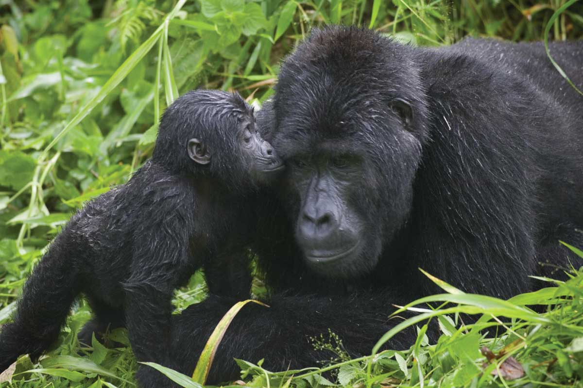 best time to go gorilla tracking in Uganda and Rwanda Safari
