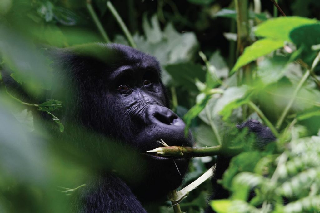 Gorilla Trekking in Uganda: The Habituation Experience