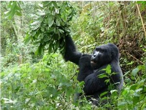 A Gorilla in the Forest on the 7 Days Rwanda Primates Gorillas & Chimp Safaris