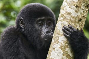 infant Gorilla on our 9 days gorillas and wildlife expeditions Uganda